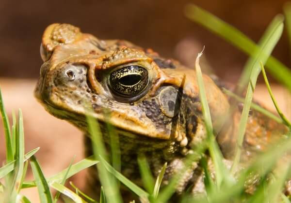 Cane Toad Hunting: Why Cruelty to Animals Is Never the Answer