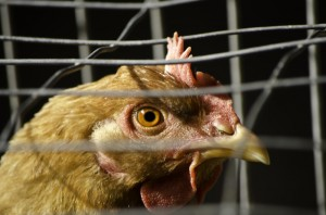 chicken in battery cage