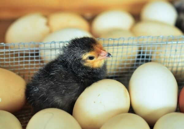 Egg Industry Wants to Modify Embryos Genetically to End Killing of Male Chicks