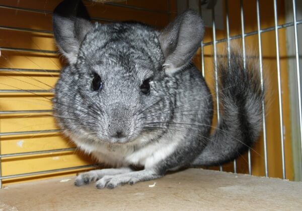Sharon Osbourne Exposes Cruel Chinchilla-Fur Trade