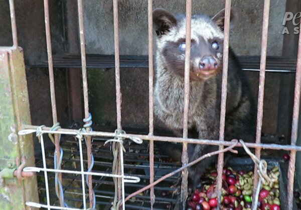Cruelty in a Cup: Bali's Kopi Luwak Industry Exposed