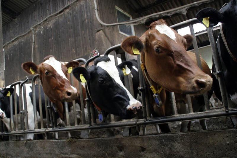 cows on a factory farm