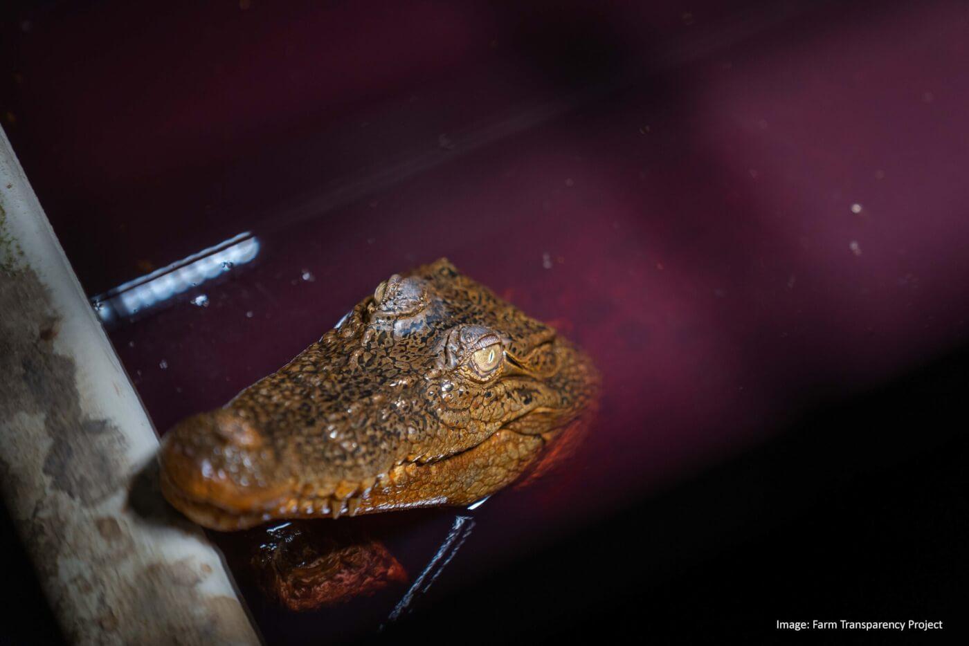 BREAKING: Australian Crocodile Skins Industry Exposed