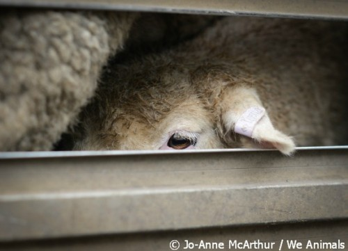 lambs are ear punched