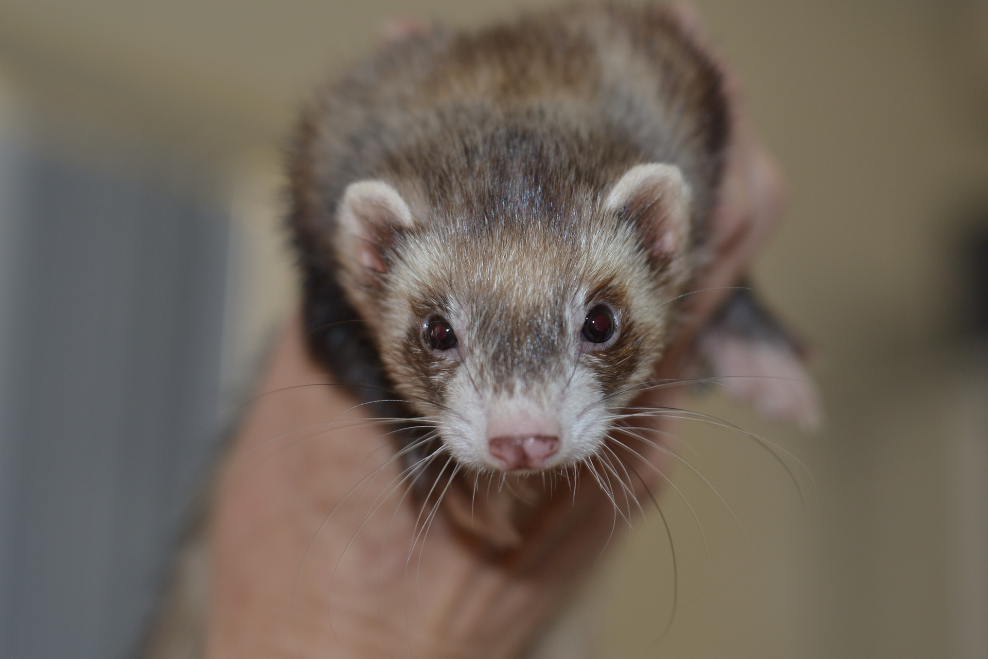 A photo of a ferret.