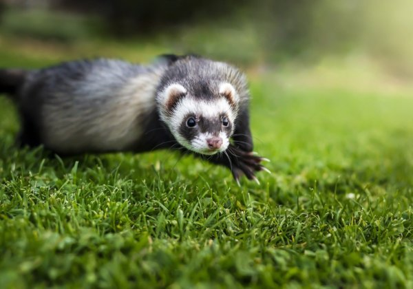 A photo of a happy ferret.