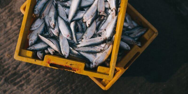 fish in a bucket