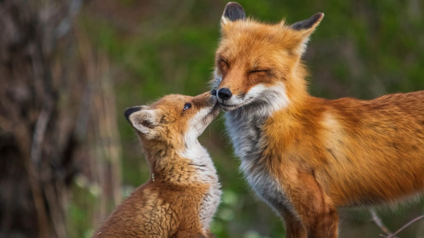 a baby and adult fox