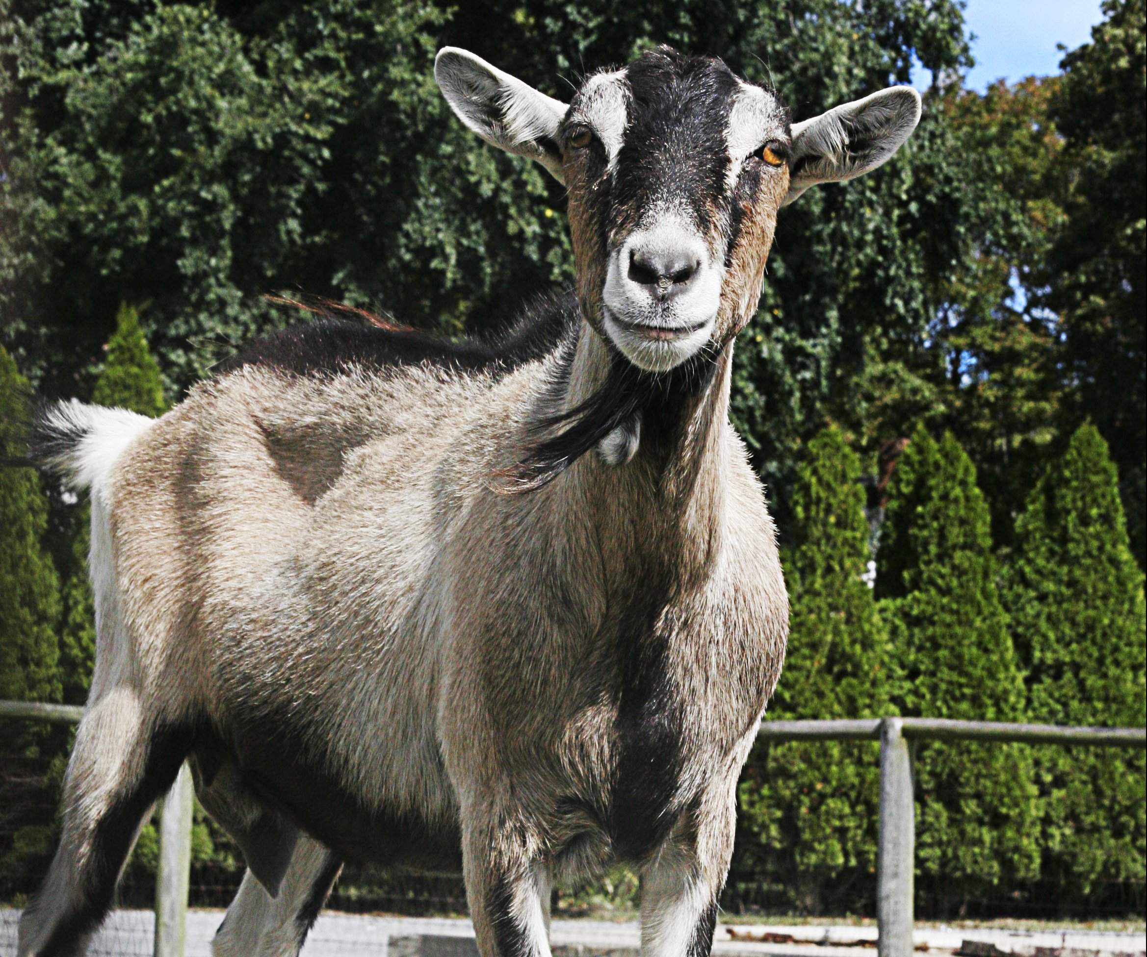 Victory Alert: Cruel Goat Races Cancelled!