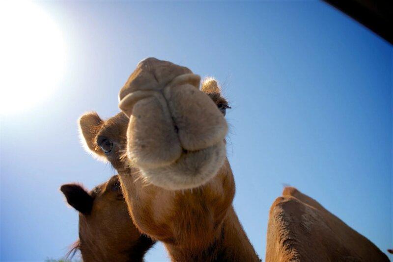 Image shows a camel