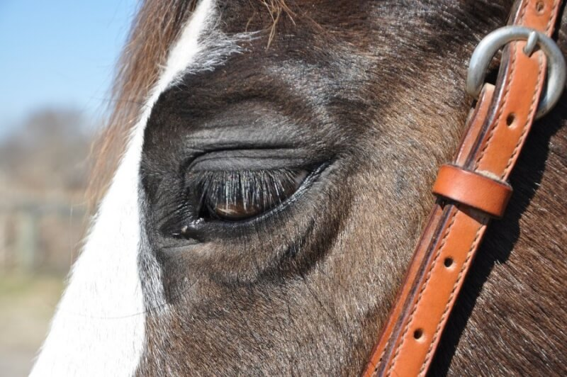 Sad eyes racehorse