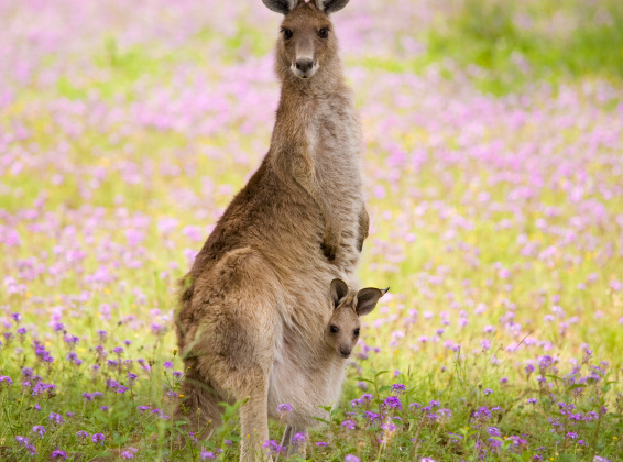 Kangaroos – The Slaughter of our National Emblem