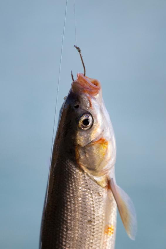 Fish Suffer