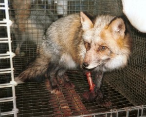 Injured fox on fur farm