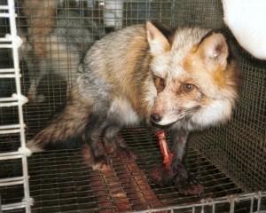 Injured fox fur farm