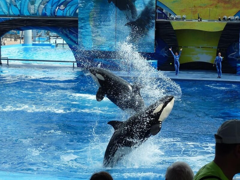 killer-whale-113527_1280 (1)