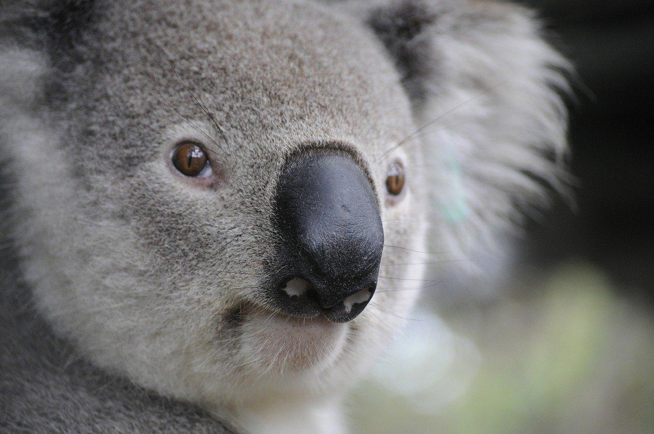 A photo of a koala.