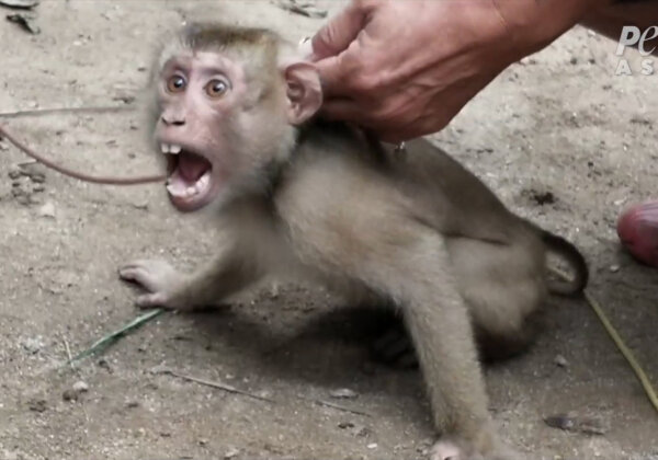 Monkeys Exploited, Abused for Your Coconut Milk and Oil