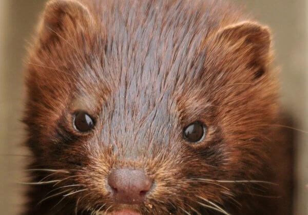 Urge Italy to Ban Fur Farms