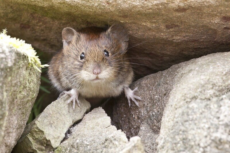 Image shows a mouse