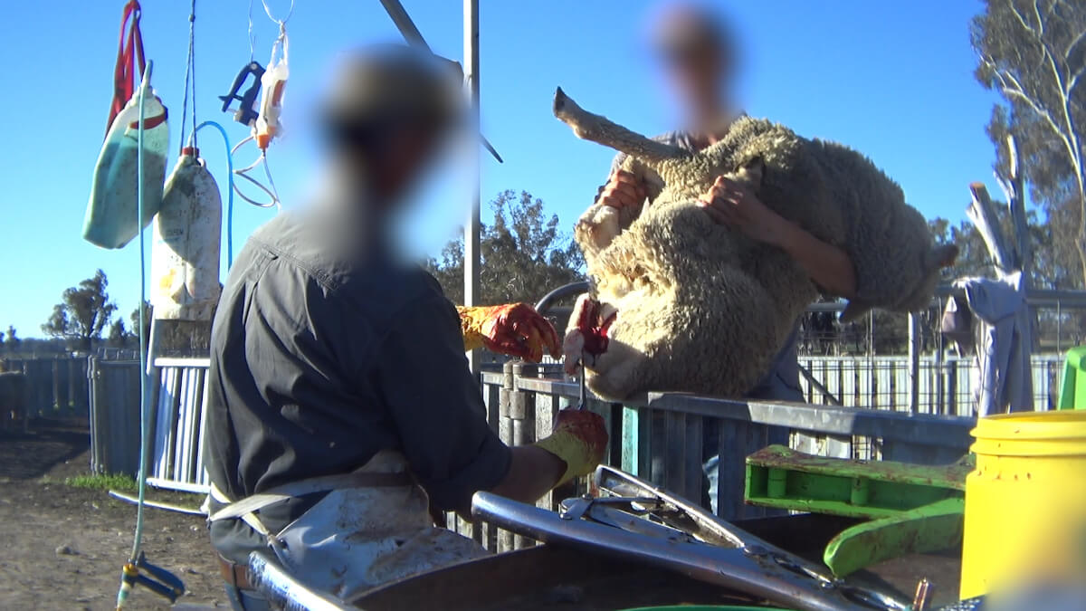 Image of a sheep being mulesed in Australia.