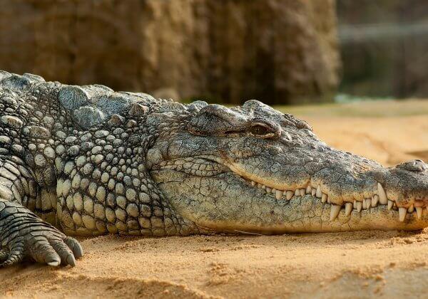A photo of a crocodile