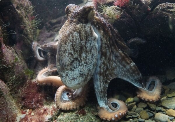 Inky's Great NZ Escape: Octopuses Don't Belong in Aquariums