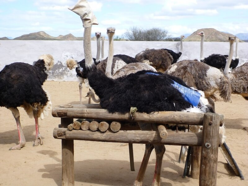 Ostrich in Restraint Device for Plucking