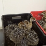 Day-Old Chicks Held in Crates