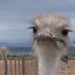 A juvenile ostrich confined to a barren feedlot.