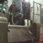 Ostrich Falling Inside Abattoir