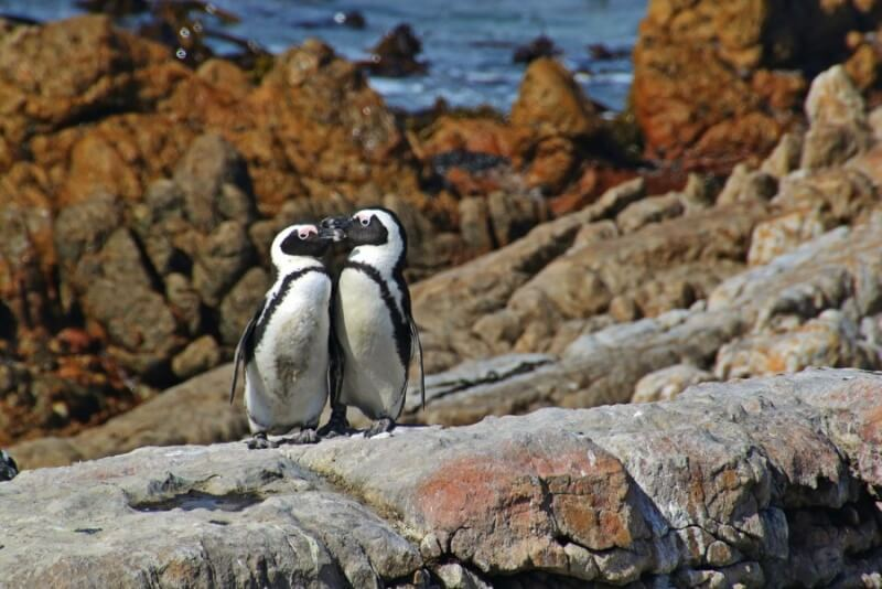 Penguin Couple