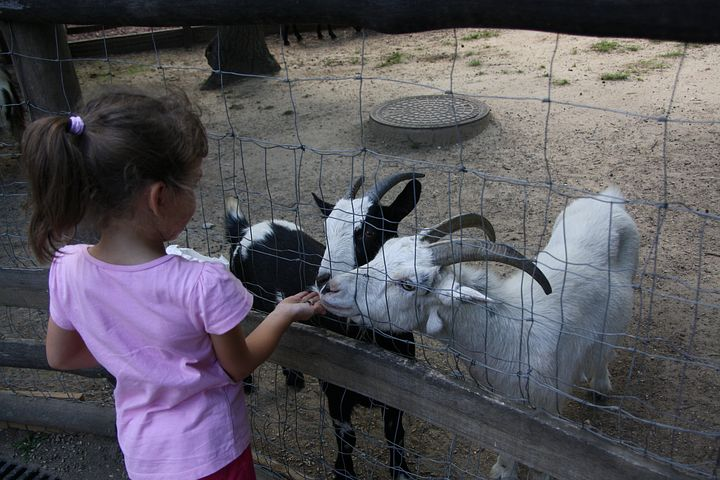 A photo of a child feeding goats at a petting zoo.