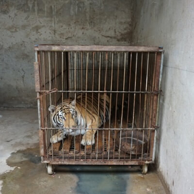 Tiger kept in circus cage
