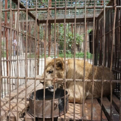 Lion kept in cage at circus