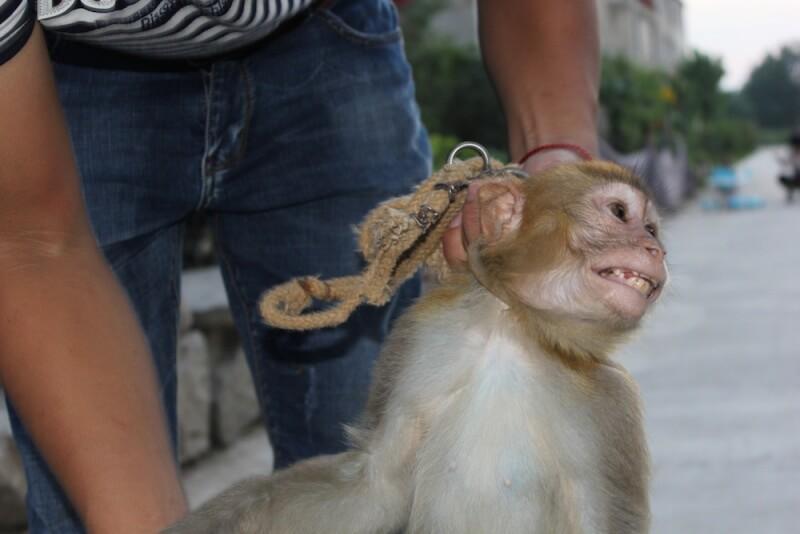 Monkey Terrified in Chinese Circus Training