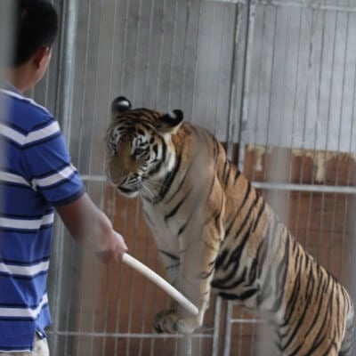 Tiger training in Chinese Circus