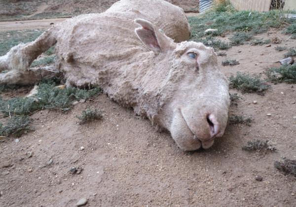 dead sheep wool