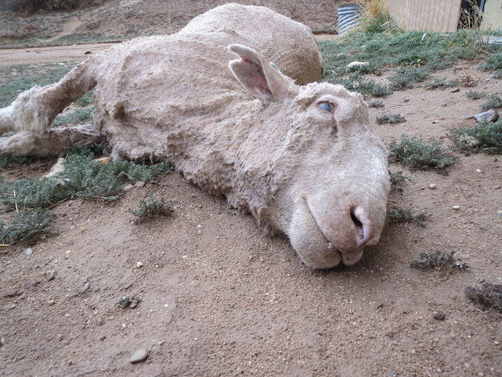 A sheep used or wool.
