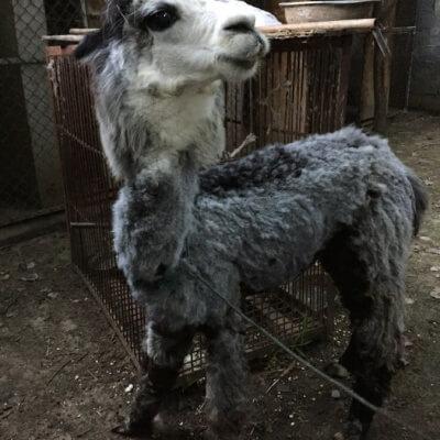 Llama in Chinese Circus