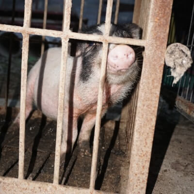 Pig in Chinese Circus
