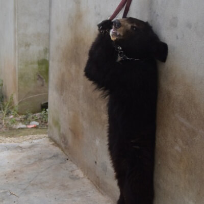 Bear in Chinese Circus