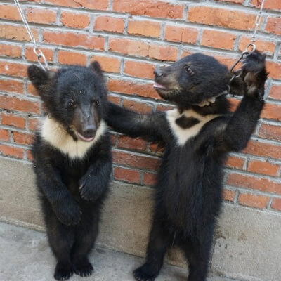 Bears in Chinese Circus