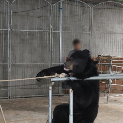 Bear being forced to do tricks in circus