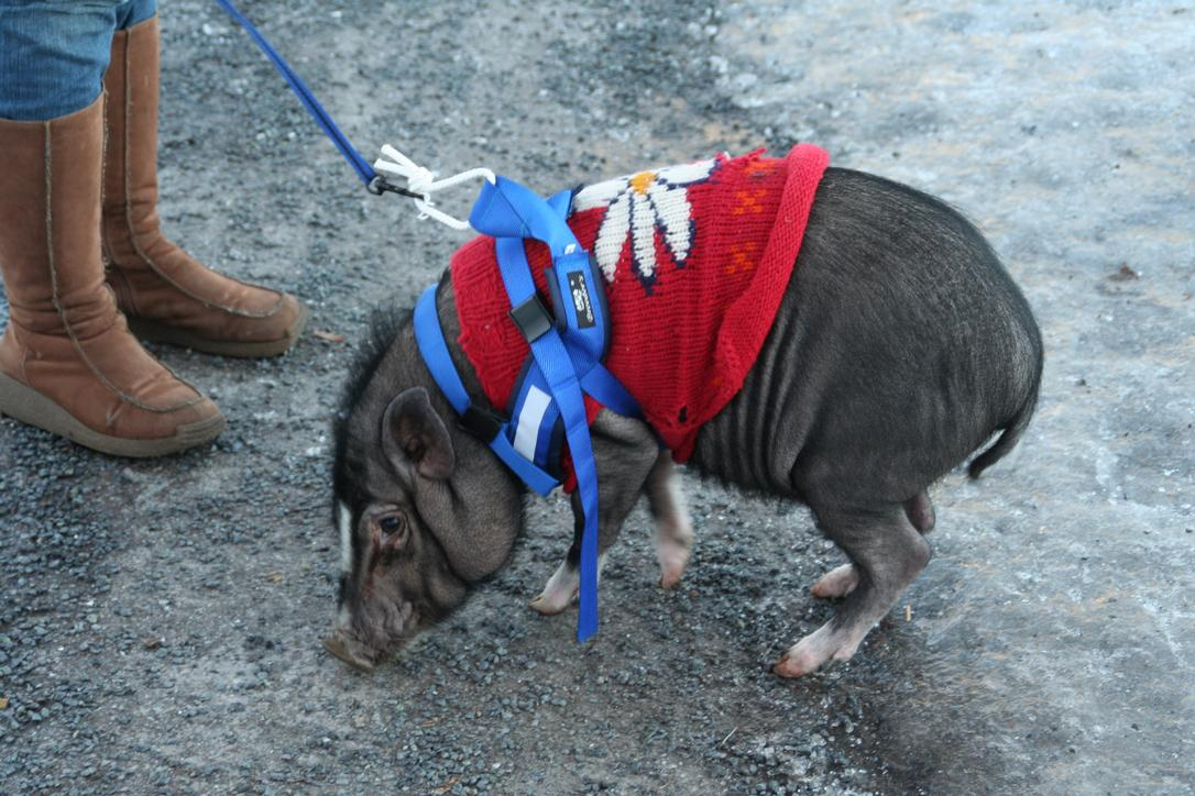 Pig on a leash going for a walk.