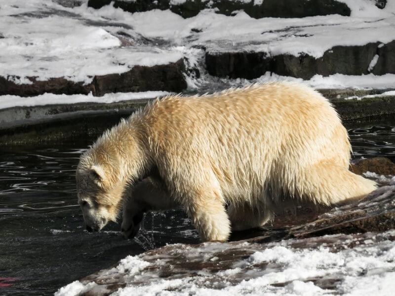 Polar Bear Clawing Ice