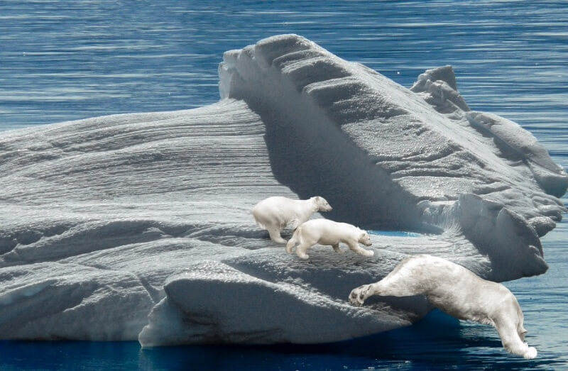 Polar Bears Jumping into Water