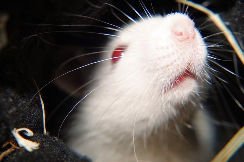 Image shows a rat