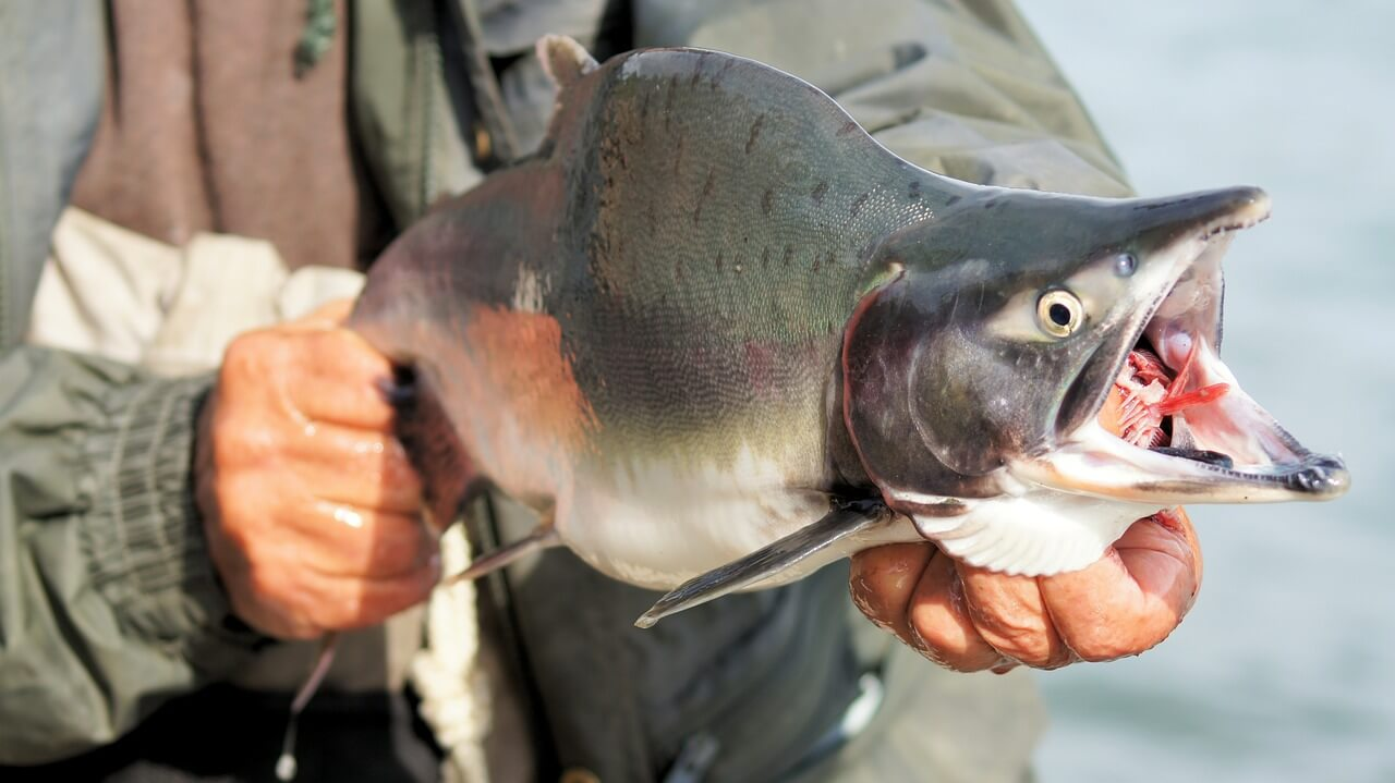 caught salmon fish