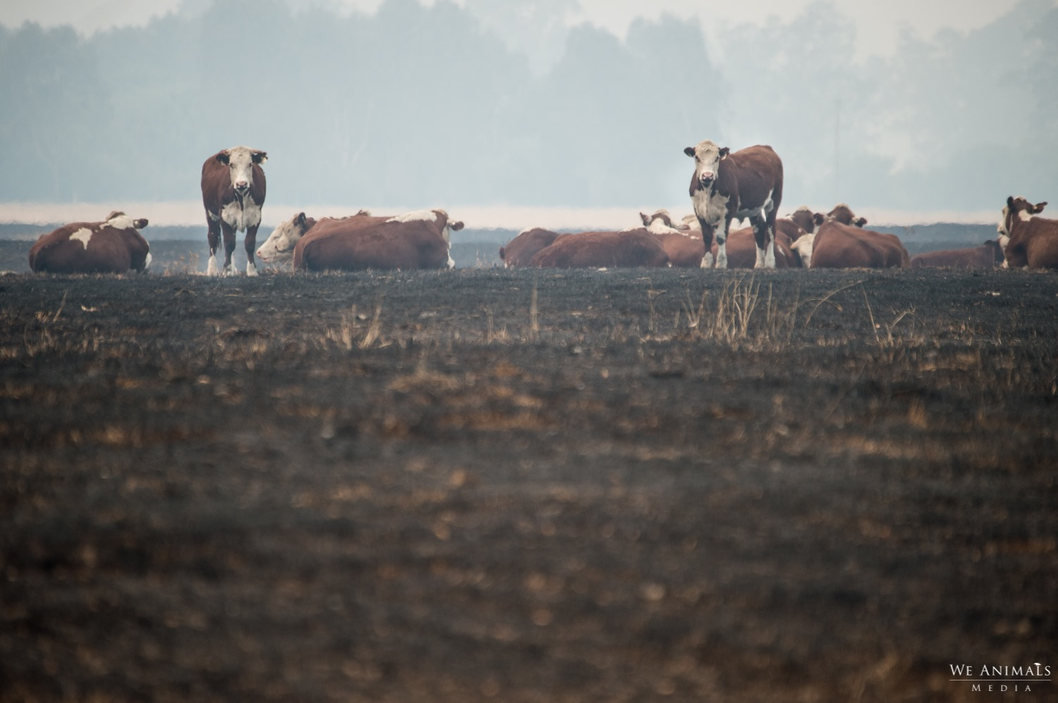 A photo of cows on burnt land.